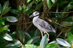 Nyctanassa violacea (mazama973) Tags: bird oiseau frenchguiana guyane guyanefrançaise ardeidae nyctanassaviolacea bihoreauviolacé yellowcrownednightheron