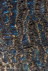 Oak tree detail (Photosuze) Tags: oak trees trunk fire aftermath oaktree bark discoloration