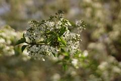 Белоснежный наряд / Snow white dress (Владимир-61) Tags: весна апрель природа дерево цветы цветение белый зеленый spring april nature tree flower blossom white green sony ilca68 minoltaaf50mm