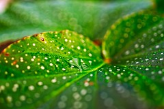 Tamron 35 Macro (brev99) Tags: leaf water drops bokeh bokehcircles tamron35f18vc ononesoftware on1photoraw2019 nikviveza green luminar tulsagardencenter conservatory greenhouse
