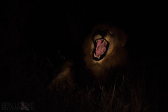 Lion (Ben Locke.) Tags: lion cat bigcat wild wildlife nature africa southafrica