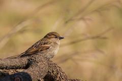 House Sparrow female (Lynn Tweedie) Tags: housesparrow branch tail 7dmarkii feathers beak eye sigma150600mmf563dgoshsm wing eos bird canon missouri ngc animal