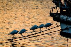 漁港にて #3ーAt the fishing port #3 (kurumaebi) Tags: yamaguchi 秋穂 山口市 nikon d750 nature landscape dusk sunset 夕焼け port 漁港 boat 船 birds helon サギ 鷺