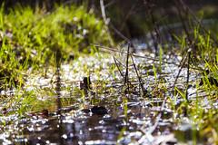 Grashalme im Wasser (Markus Holsträter) Tags: nikon d3300 deutschland wasser water gras grashalm grass bokeh outdoor outside äste