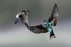 Swallow Season (Patricia Ware) Tags: birdsinflight california canon ef400mmf4doisiiusmlens handheld irvine sanjoaquinmarsh tachycinetabicolor treeswallow ©2019patriciawareallrightsreserved unitedstatesofamerica us specanimal