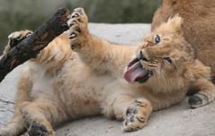 asiatic lion Blijdorp 094A0655 (j.a.kok) Tags: leeuw lion animal azie aziatischeleeuw asia asiaticlion mammal zoogdier dier predator pantheraleopersica blijdorp lioncub welp leeuwenwelp cub asianlioncub