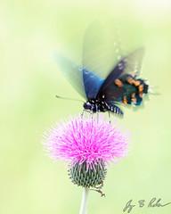 Pipevine Swallowtail (Jay Packer) Tags: butterflies unitedstatesofamerica animalia actionandadventure papilionidae northamerica lepidoptera texas kendallcounty insecta pipevineswallowtail arthropoda flight animals battusphilenor