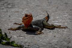 the newbie (robertskirk1) Tags: red nature wildlife outdoor animal reptile reptilian lizard redhead agama melbourne florida fl animalplanet