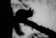 Squirrel SIlhouette..x (Lisa@Lethen) Tags: blacknwhite bnw bw mono squirrel red silhouette tree granny pine woods watching