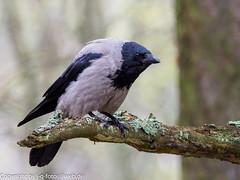 Hooded Crow (xrxss15) Tags: animalia animals aves birds corvidae corvuscornix corvuscoronecornix crowsandjays estland estonia europe harju hoodedcrow merimetsa nebelkrähe tallin tiere vögel