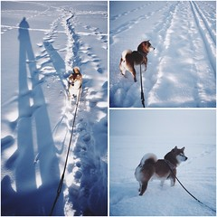 Frozen Lake Day Walk 2 (pjen) Tags: shibainu shibaken nihonken hiro dog shiba koira primitive breed spitz japanese finland 日本犬 柴犬 urajiro 10years winter snow ice animal pet lake frozen freezing shadow