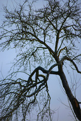 Tree Silhouette (gripspix) Tags: stellagon isco projectionlens projektionsobjektiv 128100mm 20190127 nature natur test probe plant pflanze tree baum obstbaum fruiter