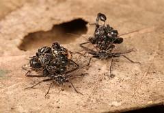 Assassins' Hit List (John Horstman (itchydogimages, SINOBUG)) Tags: insect macro china yunnan itchydogimages sinobug entomology canon bug nymph assassin hemiptera reduviidae 2 tumblr fb tweet