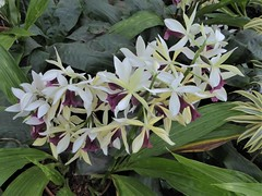 Chicago, Garfield Park Conservatory, Terrestrial Orchids (Mary Warren 12.4+ Million Views) Tags: chicago garfieldparkconservatory nature flora plants green leaves foliage white blooms blossoms flowers terrestrialorchids orchids