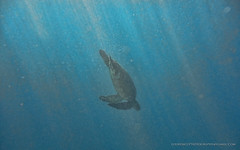 Turtles on Maui (LOURENḉO Photography) Tags: ocean pacific turtle turtles dive snorkel fun time boat whale art hawaii maui oahu island sun deep coral