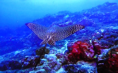 French Polynesia - Undersea (Jacques Rollet (very little available)) Tags: undersea fish poisson coral sea mer raie frenchpolynesia polynésie polynesia