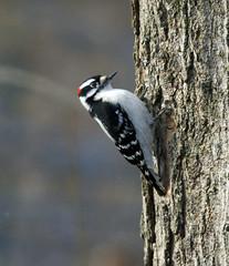 Male downy woodpecker (carpingdiem) Tags: birds indianapolis winter 2019 downywoodpecker
