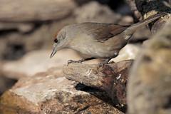 Capinera (f) (Marcello Giardinazzo) Tags: capinera avifauna natura wild uccelli bird