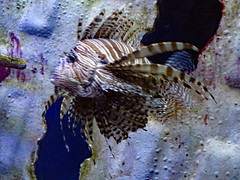 Beautiful Red Lionfish. (dccradio) Tags: myrtlebeach sc southcarolina horrycounty redlionfish venomous venomousfishl alieninvader indopacific nature fish ripleys ripleysaquarium aquarium water swim swimming beauty bluebackground indoor indoors inside february winter monday mondayafternoon afternoon goodafternoon canon powershot elph 520hs