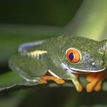 Red eye tree frog thumbnail