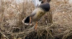 7K8A1085 (rpealit) Tags: scenery wildlife nature edwin b forsythe national refuge brigantine gadwall duck burd