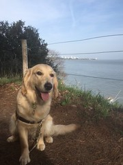 Obie (chrisfreesbees) Tags: sentierdesdouaniers dog retriever golden goldenretriever chien