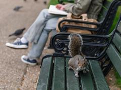 Squirrel in Regent's Park (Hattifnattar) Tags: squirrel london regentspark bench pentax bokeh fa43mm limited