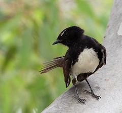 Willie Wagtail (ssikymapp) Tags: willywagtail wagtail australia southaustralia wetland eucalyptus bird nativebird australianbird blackandwhite