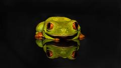 Tree Frog (pboolkah) Tags: clactononsea england unitedkingdom gb canon canon5d canon5dmkiv frog treefrog