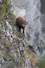 Bouquetin des Alpes (fauneetnature) Tags: bouquetin animalier animal animauxmontagne alpes alps maurienne montagne mountain mountainanimals faune nature naturephotography photonature photoanimalière savoie