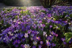 Magic carpet (EricMakPhotography) Tags: crocus flower sun garden spring purple