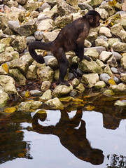 Rocks and Water (Steve Taylor (Photography)) Tags: animal brown yellow white contrast stone rock newzealand nz southisland canterbury christchurch leaves reflection winter blackcappedcapuchin monkey capuchin willowbankwildlifereserve