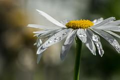 Soft shooting. (Omygodtom) Tags: flower flickr flora daisy outside macro soft backlit shadow natural nature nikon nikkor