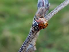 Anatis ocellata (rockwolf) Tags: anatisocellata eyedladybird coleoptera coccinellidae coccinelle coccinelleocellée beetle insect woodlane shropshire rockwolf