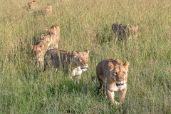 Lion Pride on Parade (helenehoffman) Tags: africa kenya conservationstatusvulnerable felidae mammal lion cat bigcat pantheraleo carnivore maasaimaranationalreserve animal alittlebeauty coth coth5