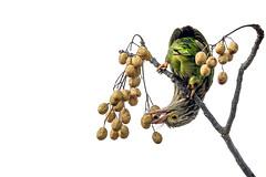 Anything for food... (chandra.nitin) Tags: animal bird feeding lineatedbarbet nature outdoor urban wildlife garjiya uttarakhand india
