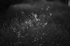 spring light (Amselchen) Tags: makroplanar t 250 ze zeiss carlzeiss mono monochrome bnw blackandwhite light shadow plants canon eos makroplanart250 canoneos6dmarkii makroplanart250ze bokeh dof depthoffield general blur season spring
