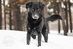 Picture of the day (Keshet Kennels & Rescue) Tags: adoption dog ottawa ontario canada keshet large breed dogs animal animals pet pets field nature photography winter snow lab mix nose snowfall intense stare
