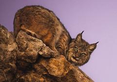 Disneyland Day (Jami Bollschweiler Photography) Tags: bobcat wildlife photography utah wild free photographer