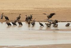 White-backed Vultures (Gyps africanus) bathing ... (berniedup) Tags: imfolozi hluhluweimfolozi whitebackedvulture gypsafricanus vulture taxonomy:binomial=gypsafricanus river water