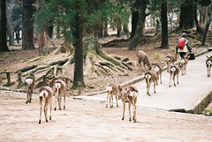 Shepherd's Walk (GingerKimchi) Tags: nara osaka japan travel deer nature asia film 35mm fujifilm canon canona1 2019 spring february march