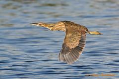 American Bittern (Andrew's Wildlife) Tags: american bittern flight bird