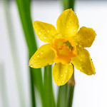 Yellow Narcissus flower with leaves thumbnail