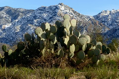 Cactus imitating mountain  {Explored} (jimsc) Tags: cactus pricklypear santaritapricklypear mountain snow peak winter february plant desert sonorandesert arizona pimacounty tucson catalina ngc landscape yard panasonic lumix fz200 jimsc