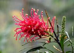 Quinta-flower (sonia furtado) Tags: quintaflower flower flor gotas soniafurtado