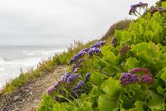 Spring Flowers Growing Along the Ocean in Del Mar (aaronrhawkins) Tags: flowers spring delmar california ocean hillside purple bloom bright rain wet grow vegetation aaronhawkins