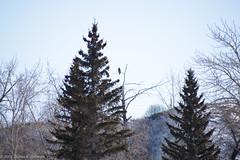 Eagle Hermit (AphidmanCalgary) Tags: calgary alberta canada ca eagle bird