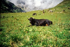 Cow at Emanay, Aug. 2000 (Great Uncle David) Tags: switzerland cows emanay