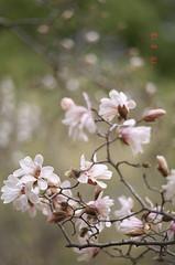 幣辛夷 (t_mimizuk) Tags: film nikon flower magnolia kobushi white pink spring park tokyo japan