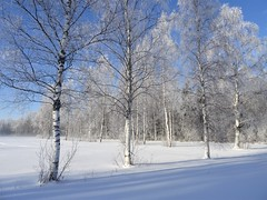 White birches in white (heiliruutel) Tags: birch winter white snow shadow trees frost